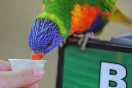 A close up view of a white hand feeding a Rainbow Lorikeet some food photo
