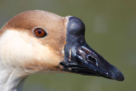 A close up of an African goose face with a black beak photo