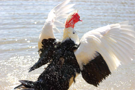 muscovy duck: A muscovy duck flapping its wings while taking a bath Stock Photo