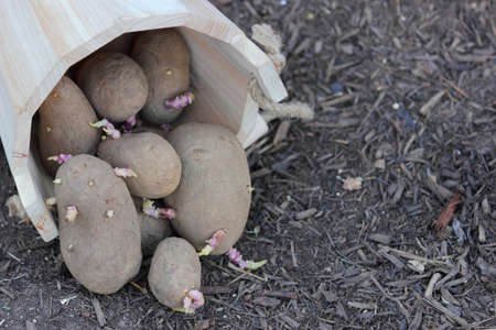 Close up view of seed potatoes falling out of a wooden bucket photo