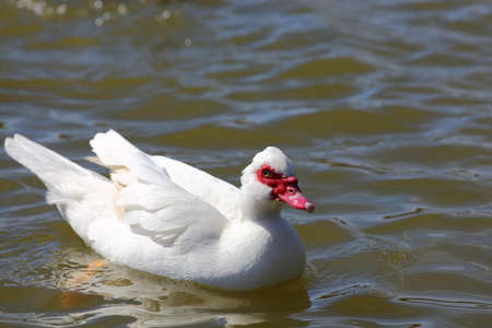 A close up view of a white female muscovy duck,Cairina moschata  photo