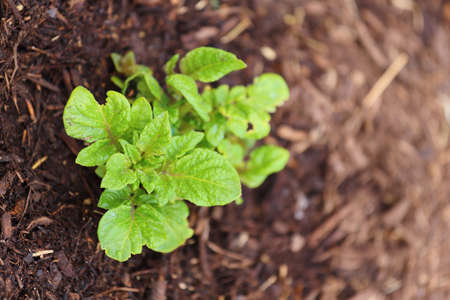 russet potato: Close up view of a newly sprouted russet potato plant
