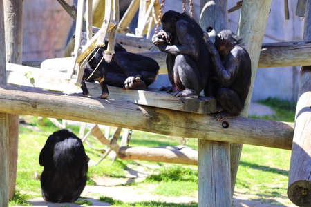 pan paniscus: Bonobos monkeys, Pan paniscus, playing and grooming each other