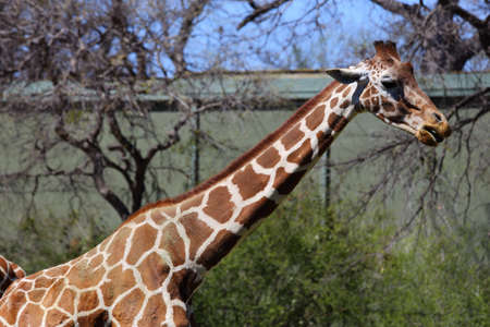camelopardalis reticulata: A body view of a reticulated giraffe, Giraffa camelopardalis reticulata