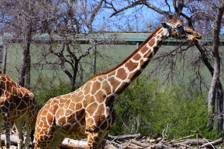 reticulata: A body view of a reticulated giraffe, Giraffa camelopardalis reticulata