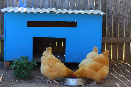 henhouse: A blue chicken coop with three chickens eating out of a bowl