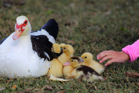 A little girls hand petting baby ducklings while the mother duck watches