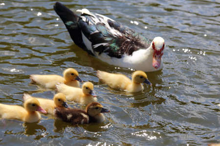 Ducklings swimming in the water with their mother