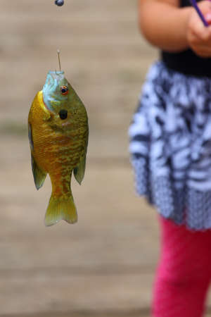 bluegill: Close up view of a bluegill, Lepomis macrochirus, hanging from a fishing line by a fishing hook
