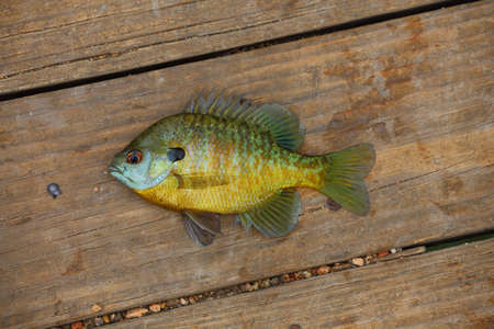 A close up view of a bluegill, Lepomis macrochirus,laying on wood