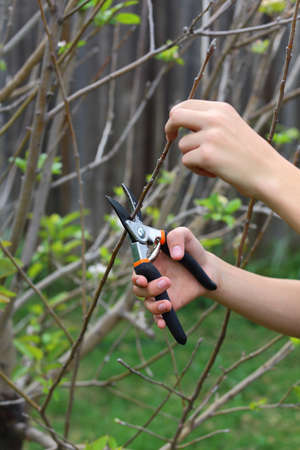 Close up view of two hands using a trimmer to trim a tree
