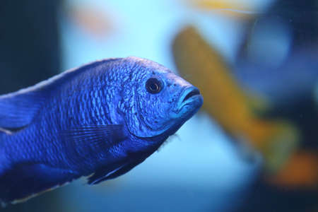 A blue cichlid swimming in an aquarium photo