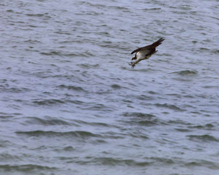 osprey bird: An osprey, Pandion haliaetus, catching a fish over the water