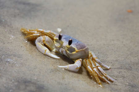 burrowing: A ghost crab, or sand crab, Ocypode quadrata, sitting on the beach