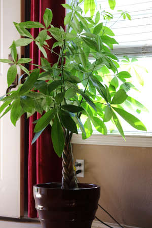 A money tree plant, Pachira aquatica, house plant getting light by the window
