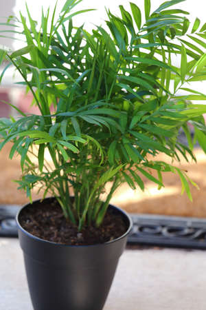 A potted house plant parlor palm, Chamaedorea elegans  Stock Photo