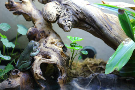 A White s dumpy tree frog sitting on a log in a terrarium