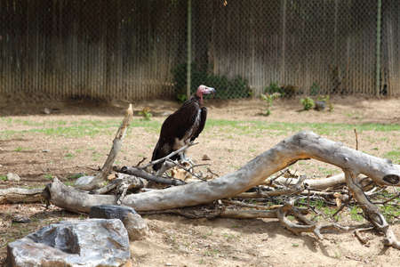 the aura: A turkey vulture Cathartes aura sitting on the ground waiting for carrion. Stock Photo
