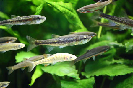 Numerous minnows swimming which includes an albino fish.