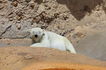 A Front view of a polar bear laying on some rocks while looking at the camera.