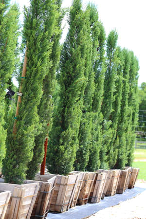 orcia: A close up view of many Italian Cypress tree being grown in a row.