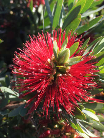 A close up view of a red dwarf bottlebrush, Callistemon
