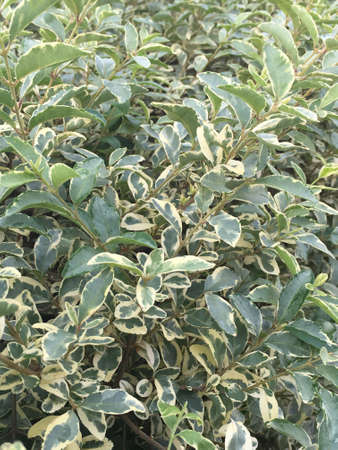 A hedge of variegated privet bush. Stock Photo