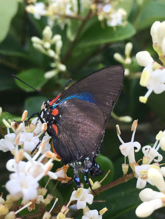 A great purple hairstreak nectaring on a ligustrum plant.