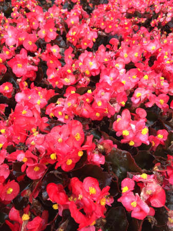 A lot of red begonia flowers being grown in flats.