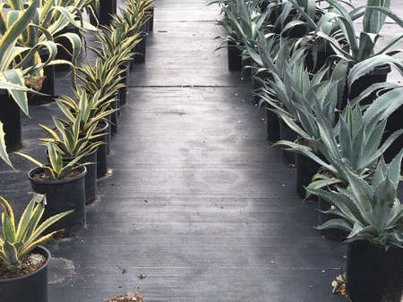 Lanes of different drought tolerant agaves lined up on black plastic.