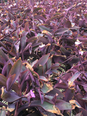 A lot of Purple Heart plants growing as a ground cover.