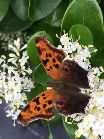 A question mark butterfly pollinating a ligustrum plant drinking nectar. Stock Photo