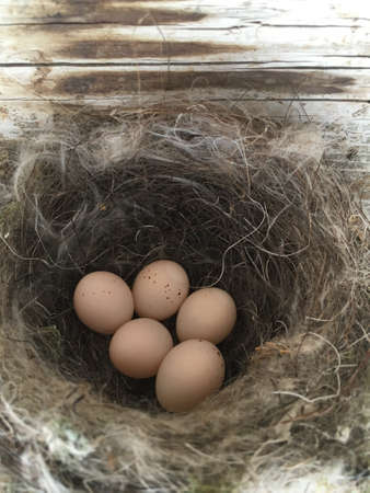 A swifts bird nest with five brown eggs.