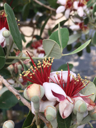 Pineapple guava blooms growing on the plant.
