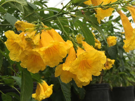 Esperanza, yellow bells, plant in full bloom with yellow flowers.