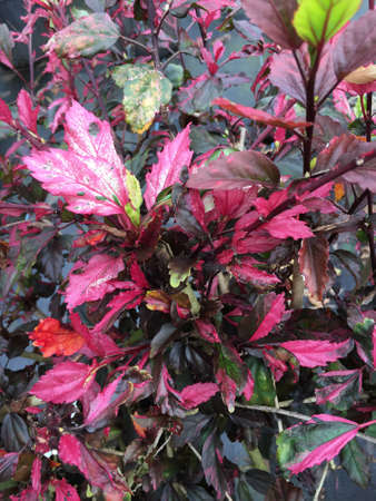 A red heat wave hibiscus with multicolored leaves. Stock Photo