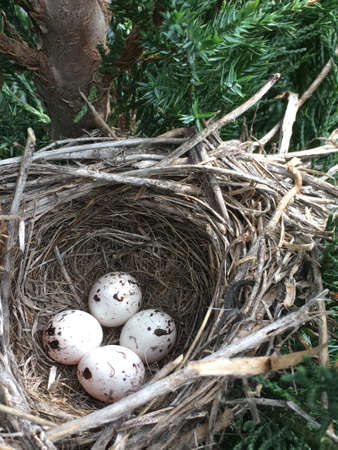 A meadowlark birds nest with four speckled eggs nesting in a juniper tree.