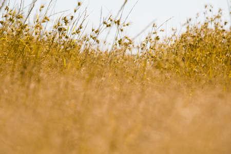 Dried Yellow Grass