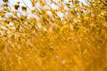 Dry yellow grass background