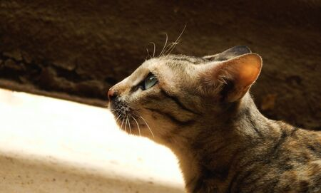 Selective focus photo of beautiful brown cat starring around , side view.