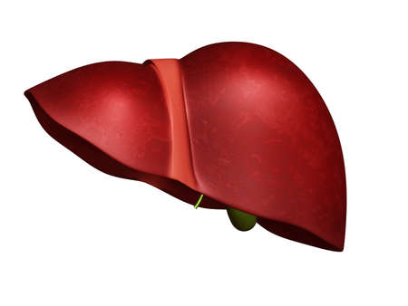 human liver: 3d Liver and Gallbladder