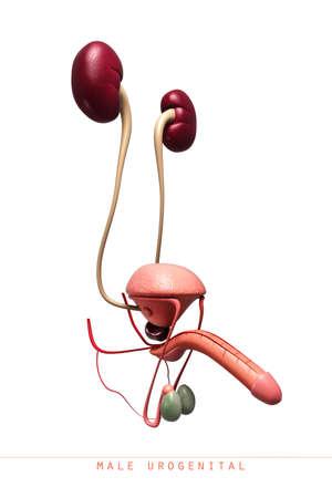 scrotum: Illustrazione digitale del pene del pene in colore sfondo