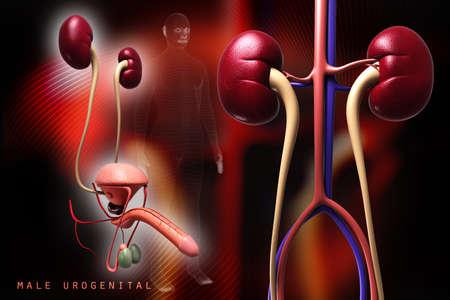 ureter: Digital illustration of  kidney in colour background