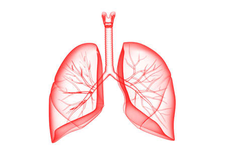 digital illustration of a Human lungs Stock Photo