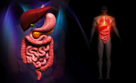 gastrointestinal system: Digital illustration of human digestive system in colour background