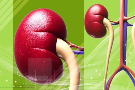 Digital illustration of human kidney in digital background Stock Photo