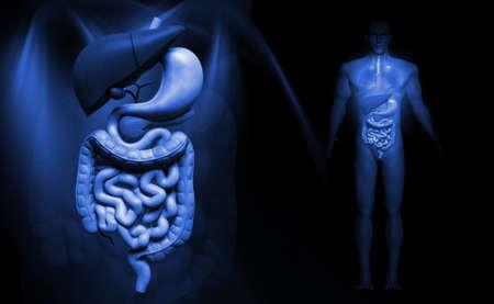 gastrointestinal: Ilustraci�n digital del sistema digestivo humano en fondo del color