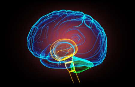 pons: X- ray human brain top view
