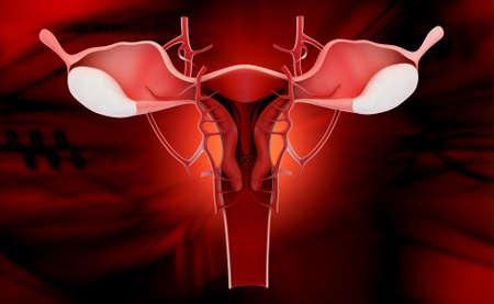 endometrial: Ilustraci?n digital del sistema reproductor femenino en fondo de color