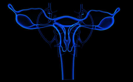 fallopian: Digital illustration of female reproductive system in colour background